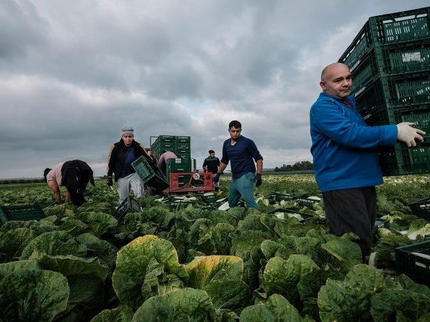 """Muncitori sezonieri români pe câmpurile din Germania: """"Aici e mai important să vorbești românește decât germana"""" (II)"""