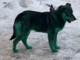 După câinii albaştri, în Rusia au apărut şi câini verzi sau roz. Care este explicaţia