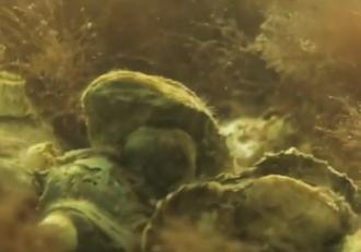 Stridiile japoneze, specifice Oceanului Pacific, găsite în Marea Neagră. Specia ar putea ajunge în câţiva ani în meniul restaurantelor