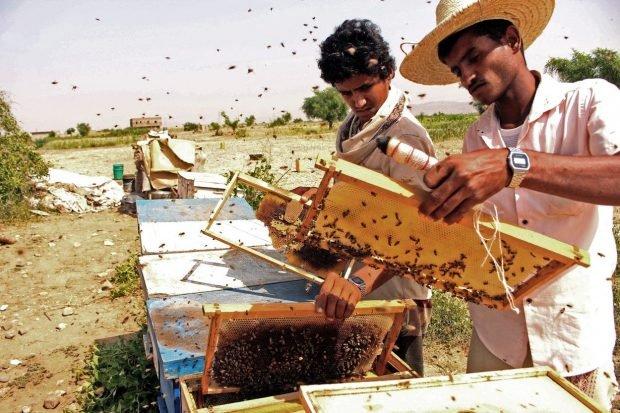 """Cu albinele, în mijlocul războiului. Tot mai mulți bărbați din Yemen înfruntă raidurile aeriene pentru a face mierea cea mai bună. """"Chiar și rebelii se tem de albine"""""""