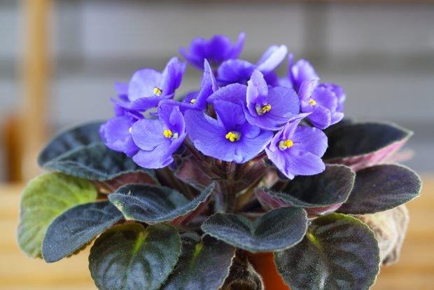 Violete de Parma – trucuri pentru îngrijire și înmulțire