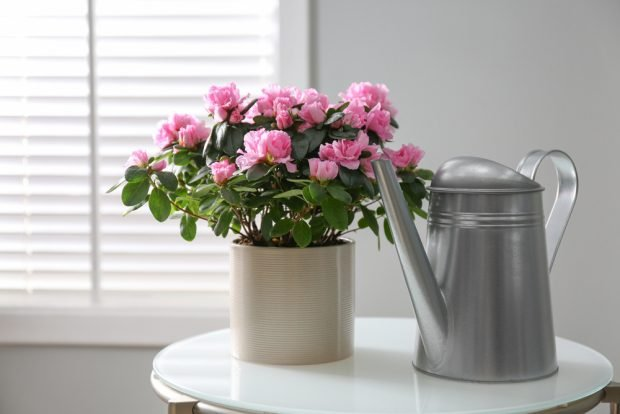 Azalee – îngrijire și plantare. Cum să te bucuri de flori din abundență