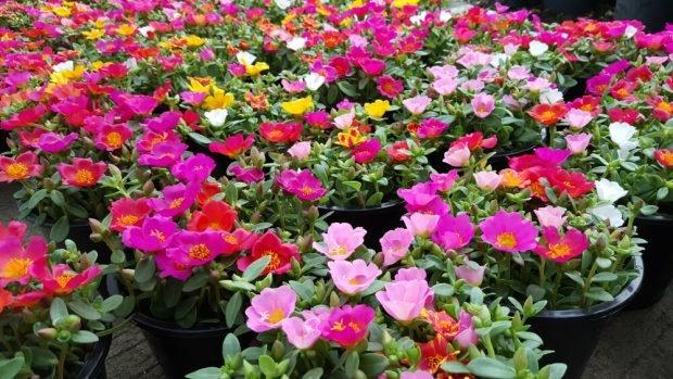 Flori de piatră (portulaca) – plantare și îngrijire. Cum să le cultivi în grădină și în ghiveci
