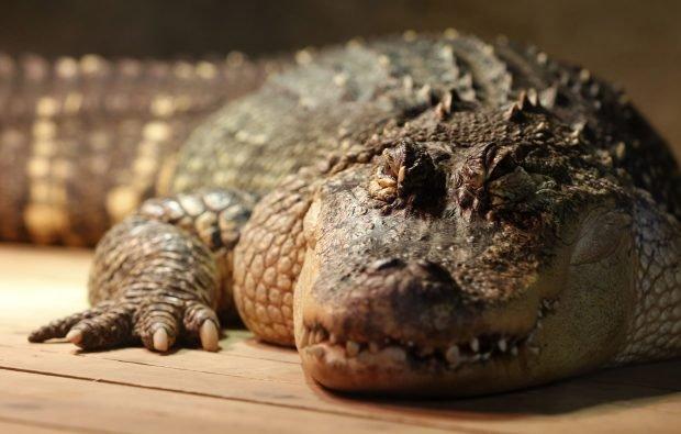"""Ce s-a descoperit în stomacul unui aligator de 445 de kilograme. """"Cu siguranță, i-a mâncat"""""""