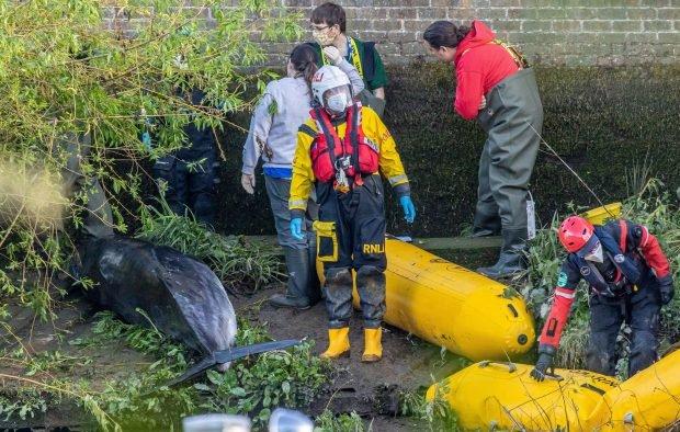 O balenă blocată în râul Tamisa a fost inițial eliberată, apoi eutanasiată