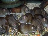 Invazie de șobolani într-o închisoare din Australia. Sute de deținuți sunt mutați